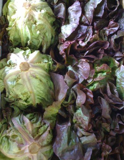 red-boston-butter-lettuce_4423101705_o
