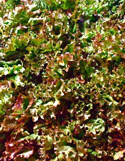 redleaf-lettuce_4423111295_o