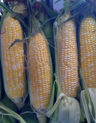 bicolor-corn_4423872558_o